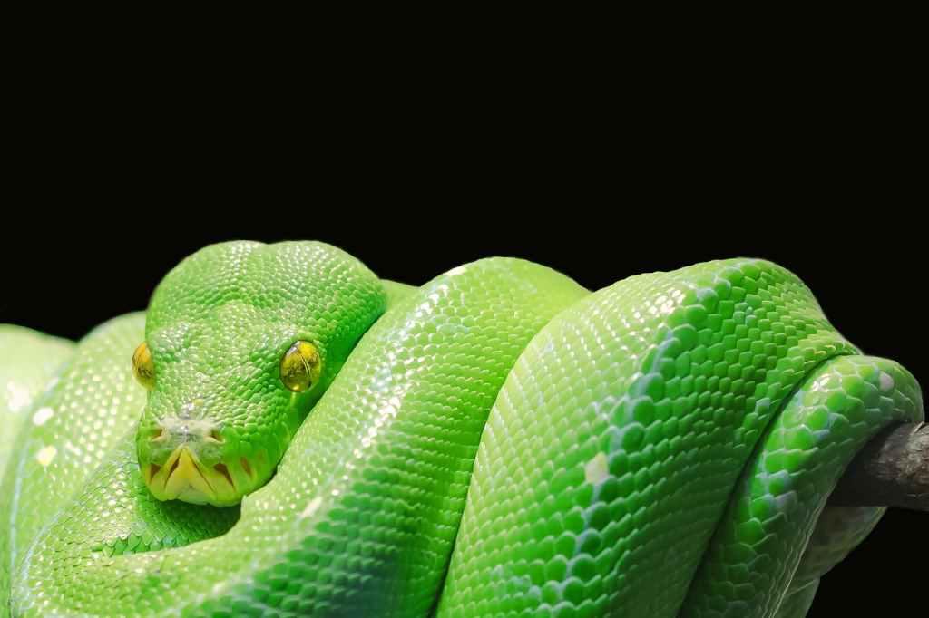 emerald tree python