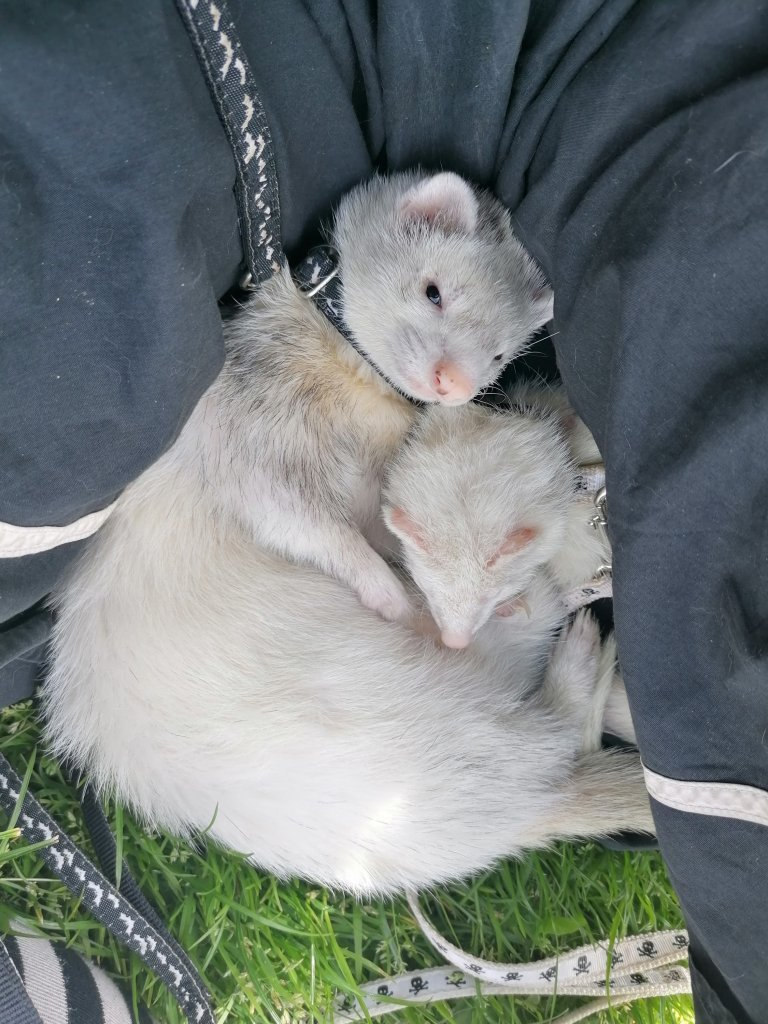 2 ferrets curled up together